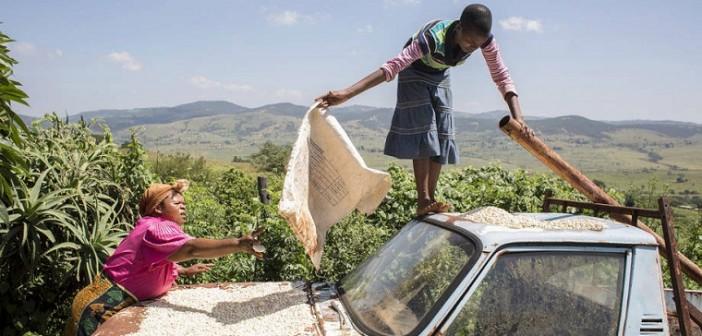 Mulheres secam o milho na lataria do carro da família, na Suazilândia. De dezembro de 2015 a março de 2016, o país entrou para a lista das nações que precisam de assistência externa para alimentar suas populações. Foto: FAO / Giulio Napolitano