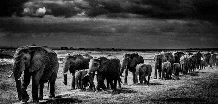 De 2010 a 2012, cerca de 100 mil elefantes foram mortos, segundo estimativas do CITES. Foto: wildlifeday.org