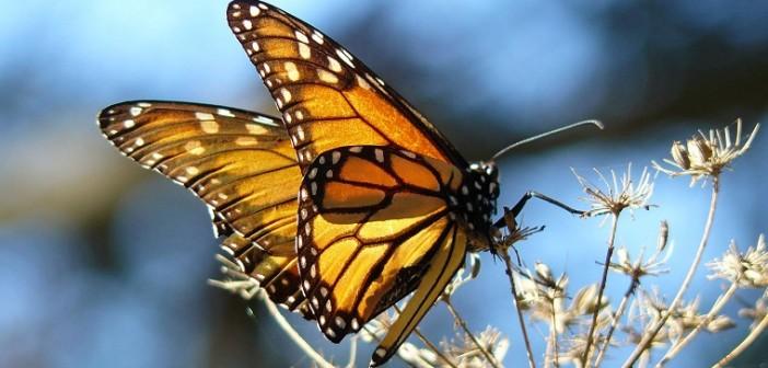 BORBOLETA MONARCA/Foto por Collette Adkins, Centro para a Diversidade Biológica USA.