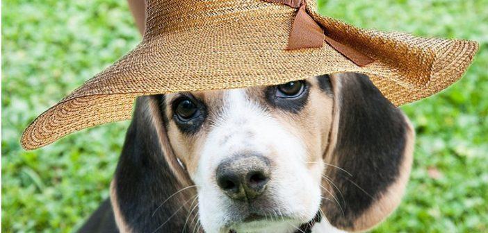 beagle-913985_1280