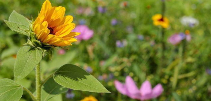 sun-flower-1656994_1280